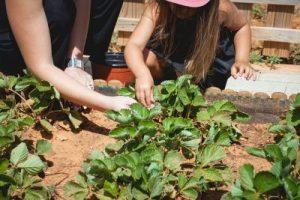 Picking strawberries, Toddler group